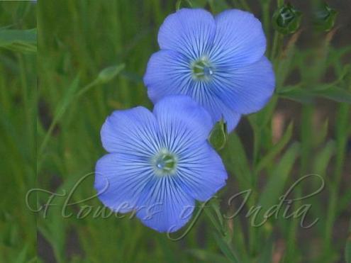 "Atasi अतसी (Linum usitatissimum) -- Flax This pretty blue flower is popular in Sanskrit literature for comparing with the complexion of Krishna. A famous sloka in Krishna's praise goes अतसीपुष्पसंकाशम् हारनूपुरशोभितम् ""atasii pushpa sankaasam haara noopura shobhitam"". This flower, along with the blue butterfly-pea flower, Aparaajita, is also popular in worship of Goddess Durga (who is also sometimes considered an ""amsha"" (अंश) of Krishna). source: Flowers in Ancient Literature website"